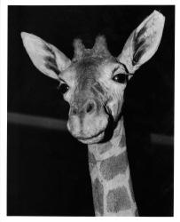 Giraffe - Film Based Print